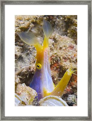 A Male Ribbon Eel Peering Framed Print by Steve Jones