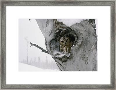 A Male Ruffed Grouse Bonasa Umbellus Framed Print