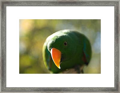 A Male Solomon Island Eclectus Parrot Framed Print by Joel Sartore