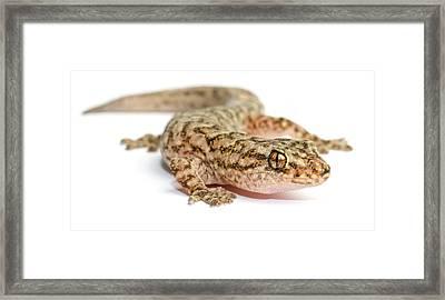 A Marble Gecko Sits In Studio Striking Framed Print by Brooke Whatnall