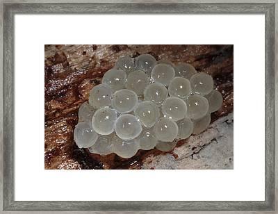 A Mass Of Slug Eggs Under A Log Framed Print by George Grall