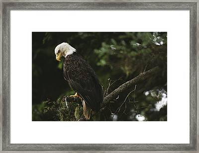 A Mature Bald Eagle Is Perched Atop Framed Print by Raymond Gehman