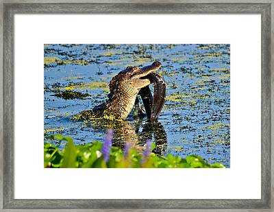 A Meal Fit For A Gator Framed Print by Julio n Brenda JnB