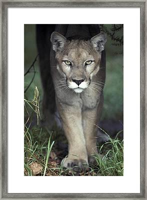 A Mesmerising Glare Of A Stalking Puma Framed Print by Jason Edwards