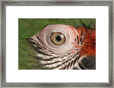 A Military Macaw Ara Ambiguus Framed Print by Joel Sartore
