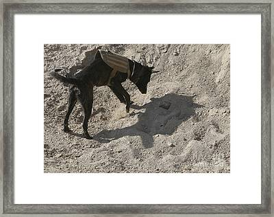 A Military Working Dog Searches An Area Framed Print