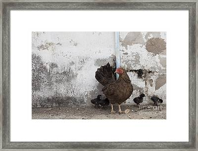 A Mother Chicken With Its Baby Chicks Framed Print by Chavalit Kamolthamanon
