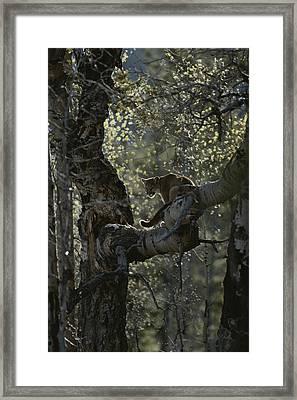 A Mountain Lion, Felis Concolor, Climbs Framed Print by Jim And Jamie Dutcher