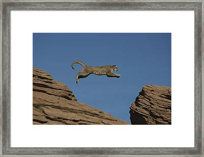 A Mountain Lion Leaps From A Rocky Framed Print by Norbert Rosing