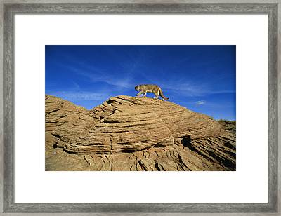 A Mountain Lions Walks Across This Framed Print by Norbert Rosing