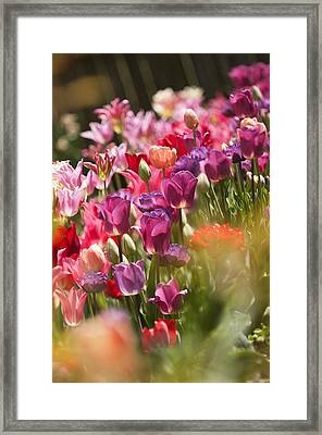 A Multicolor Patch Of Blossoming Tulips Framed Print