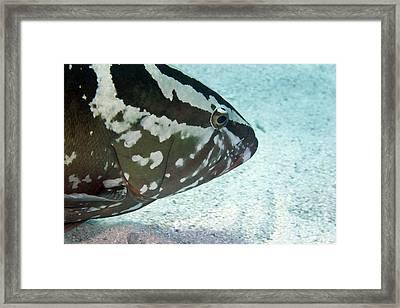 A Nassau Grouper Swims Along The Ocean Framed Print by Michael Wood