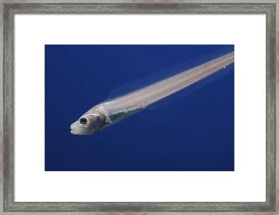 A Nearly Transparent Pallid Eelpout Framed Print