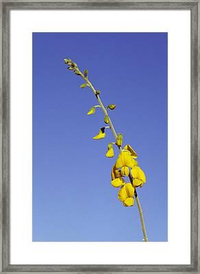 A New-holland Rattlepod, Crotalaria Framed Print by Jason Edwards