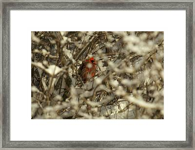 A Northern Cardinal Hiding In A Snow Framed Print by Tim Laman