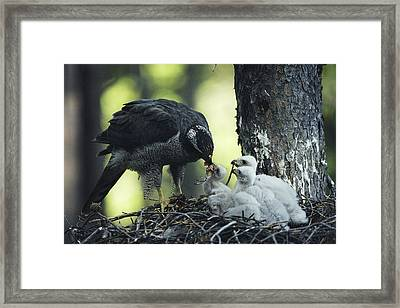 A Northern Goshawk Feeds Its Scrawny Framed Print by Michael S. Quinton