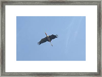 A Painted Stork Flying High In The Sky Framed Print by Ashish Agarwal