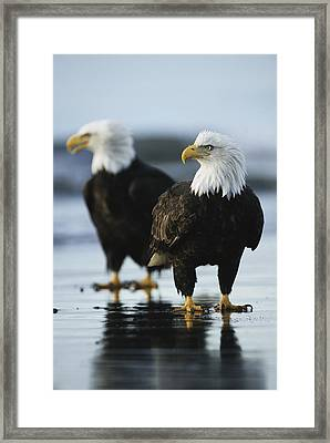 A Pair Of American Bald Eagles Stand Framed Print by Klaus Nigge