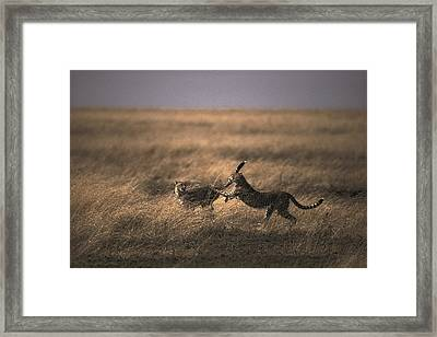 A Pair Of Cheetahs Acinonyx Jubatus Framed Print by Jason Edwards