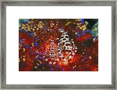 A Pair Of Colemans Shrimp Residing Framed Print