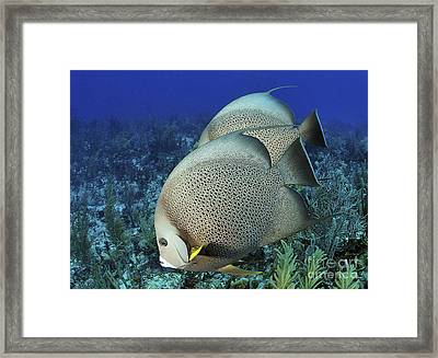 A Pair Of Gray Angelfish On A Caribbean Framed Print by Karen Doody