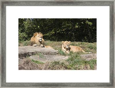 A Pair Of Lions In The Pittsburgh Zoo Framed Print by Stacy Gold