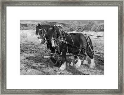A Pair Of Shire Horses Framed Print by Fran Riley