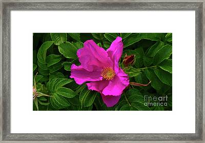A Pair Of Wild Roses Framed Print
