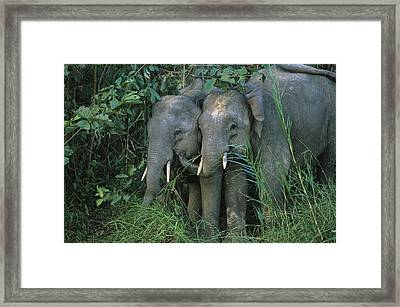 A Pair Of Young Asian Elephants Stand Framed Print by Tim Laman