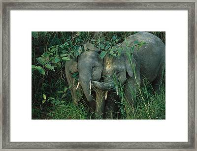 A Pair Of Young Asian Elephants Framed Print by Tim Laman