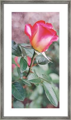 Framed Print featuring the photograph A Perfect Rose by Lynnette Johns