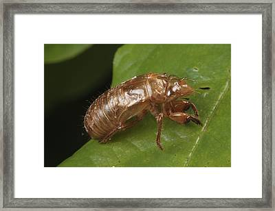 A Periodical Cicada Exoskeleton Framed Print by George Grall