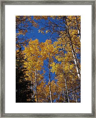 A Pine Amoung The Quakies Framed Print