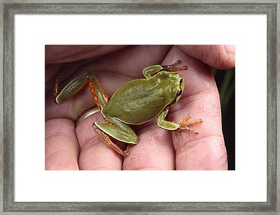 A Pine Barrens Treefrog Sits In A Palm Framed Print