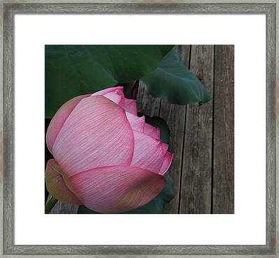 A Pink Lotus Flower Framed Print by Chad and Stacey Hall