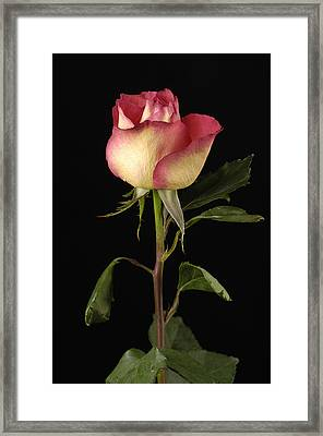 A Pink-tipped Rose Rosaceae Framed Print by Joel Sartore