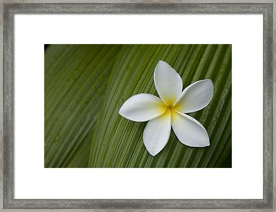 A Plumeria Flower Used In Making Leis Framed Print by John Burcham