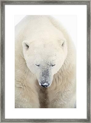 A Polar Bear Ursus Maritimus Resting Framed Print by Richard Wear