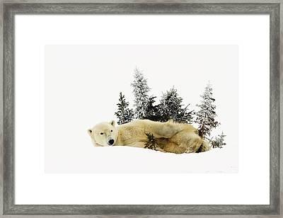 A Polar Bear Ursus Maritimus Framed Print by Richard Wear
