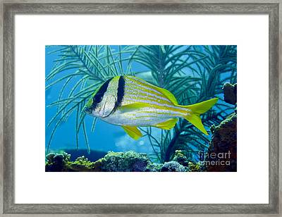 A Porkfish Swims By Sea Plumes Framed Print