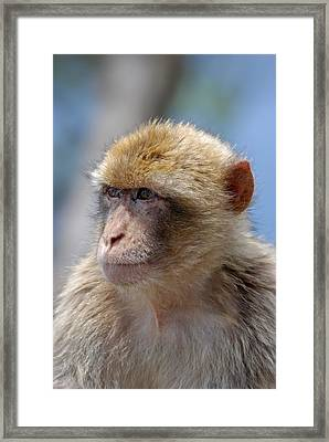 A Portait Of A Monkey In Gibraltar Framed Print by Perry Van Munster