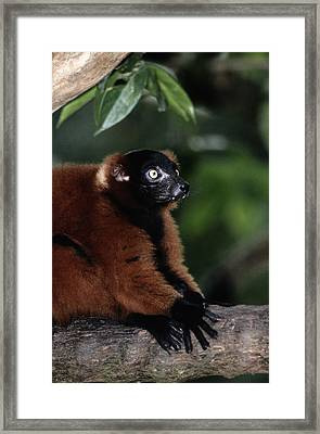 A Portrait Of A Captive Red-ruffed Framed Print by Tim Laman