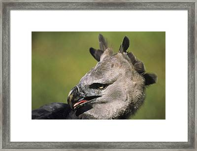 A Portrait Of A Harpy Eagle Framed Print by Ed George