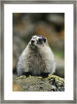 A Portrait Of A Hoary Marmot Sitting Framed Print by Michael S. Quinton