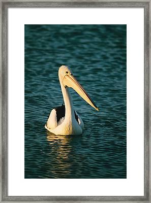 A Portrait Of A Pelican Swimming Framed Print by Bill Ellzey