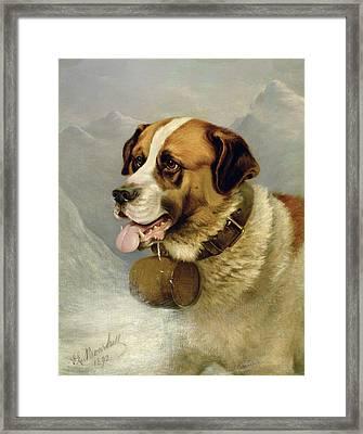 A Portrait Of A St. Bernard Framed Print