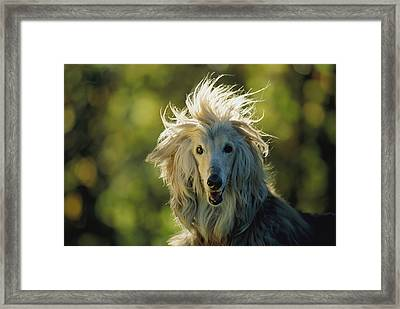 A Portrait Of An Afghan Hound Framed Print by Joel Sartore