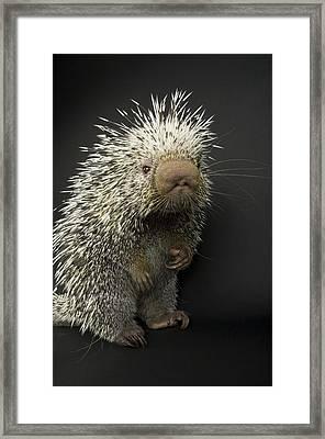 A Prehensile-tailed Porcupine Coendou Framed Print by Joel Sartore