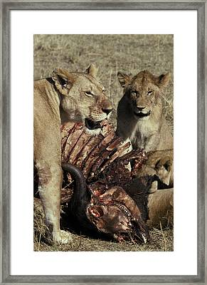 A Pride Of African Lions Feed Framed Print by Jason Edwards