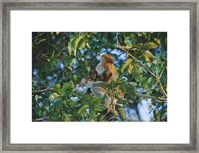 A Proboscis Monkey With Her Twin Framed Print